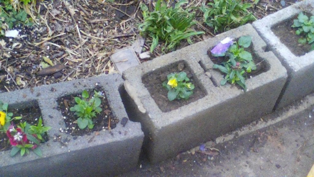 Pansies planted by the children.