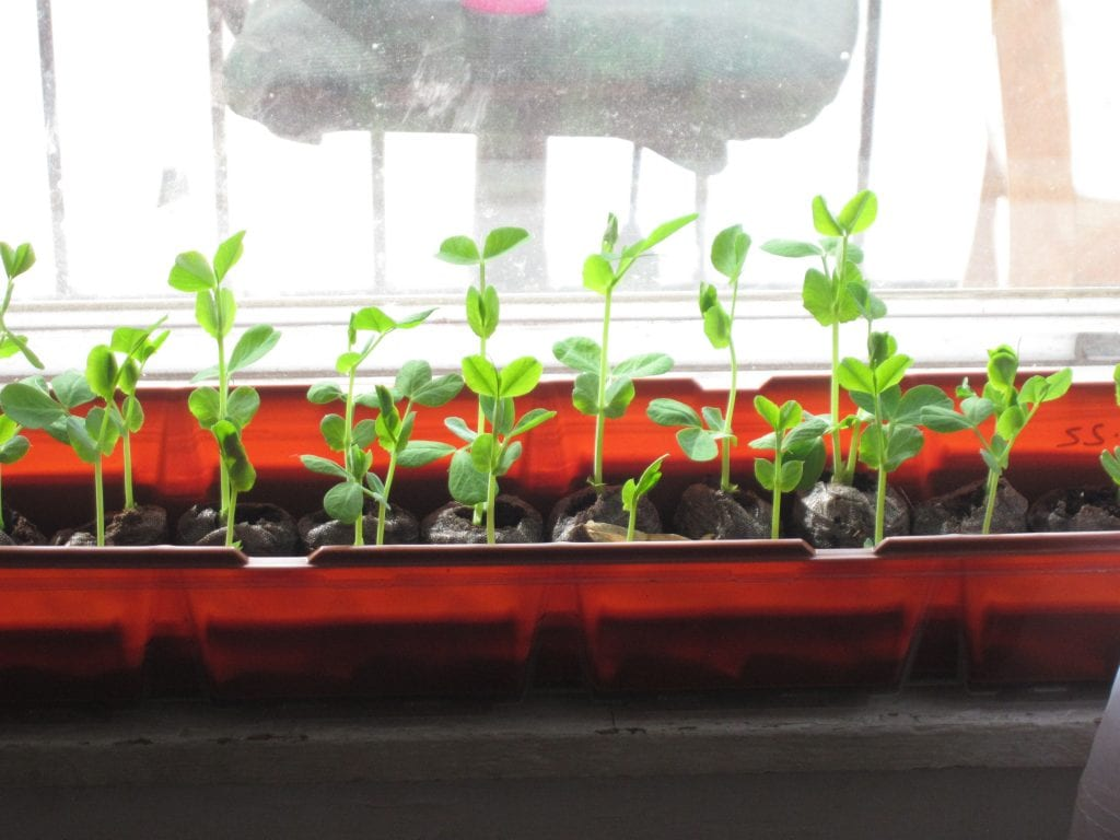 Saturday was fairly warm and the pea plants were too big to keep inside anymore.